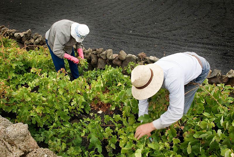 Preocupaci n en los viticultores de la isla por el exceso - Ofertas lanzarote agosto ...